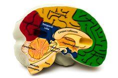 brein van een puber - Recherche Google