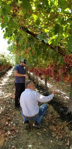 Max & Tad inspecting Sweet Celebration Red Seedless grapes Celebration, Couple Photos, Couples, Sweet, Red, Couple Shots, Candy, Couple Photography, Couple