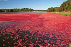 You'll have to read Shadow of Danger to find out the significance of the cranberry bog picture. Promise not to disappoint!!