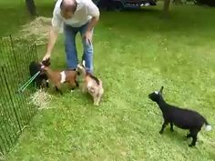 Most up-to-date Free of Charge baby animals goats Style Though the mothers and fathers are in all probability satisfied plus absolved to discover us grow up along with release Cute Funny Animals, Cute Baby Animals, Funny Cute, Animals And Pets, Hilarious, Funny Memes, Funny Gifs, Wild Animals, Cute Animal Videos