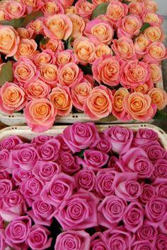 Miss Piggy and Aqua Roses
