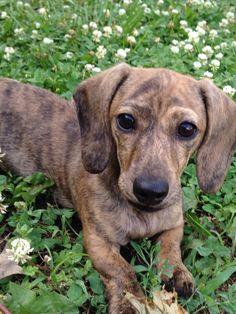 Cream brindle dachshund puppy , my favorite!