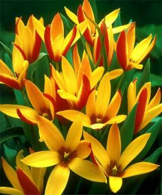 TULIPA CLUSIANA CYNTHIA Long-lasting, this bicolor tetraploid Tulip features elegantly pointed flowers of yellow and red. Bulb size: 5 to 6 cm. Bulb Flowers, Tulips Flowers, Exotic Flowers, Amazing Flowers, Love Flowers, Yellow Flowers, Spring Flowers, Planting Flowers, Bulbous Plants