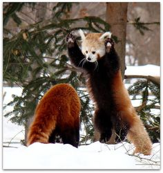 red pandas... (I have always wondered what happened to the red pandas that used to live at the Oregon Zoo long ago. They were my favs. :/ )