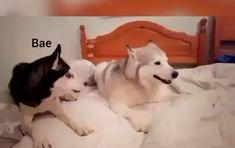 Dog Names Discover True Bitch Husky life Funny Dog Memes, Funny Dog Videos, Funny Animal Memes, Cute Funny Animals, Funny Animal Pictures, Cute Baby Animals, Funny Cute, Funny Dogs, Cute Dogs