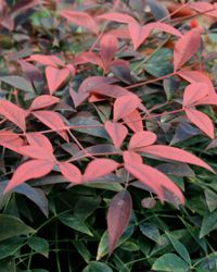 Flirt™ Nandina replaced the Crimson Pygmy Barberries in Spring 2014. Likes anything from full sun to partial shade which suits the site. Planted in between Hollies and Dwarf Mondo.