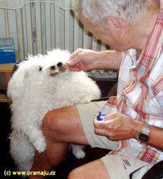 Cindy 6/2011 - Bichon Bolognese / Boloňský psík Bichon Bolognese, Dog Lady, Little Dogs, Animals, Little Puppies, Animales, Animaux, Animal, Animais