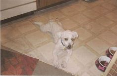"""Scamp when he came home from HALO rescue, skinny, """"mercy"""" clipping (very bad haircut)"""