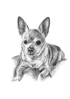 Chihuahua Sketch, hand drawn portrait done in graphite pencil. You can commission artist Genevieve Schlueter sketch your pet or a loved one's pet simply by supplying her with a photo. Visit http://www.gensart.net to place an order. A great #giftidea for any pet parent!