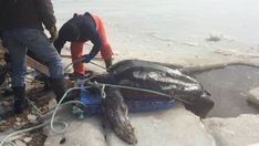 Leatherback turtle a species that coexisted with dinosaurs found in Nova Scotia lake