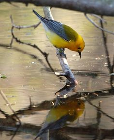Prothonotary Warbler        (photo by Larry Bond)