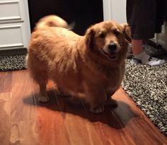 Golden Corgiver (Golden Retreiver + Corgi) | 19 ungewöhnliche Hunde-Kreuzungen, die Dein Herz im Sturm erobern werden