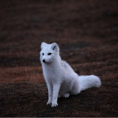 Markers of Time - Arctic Fox