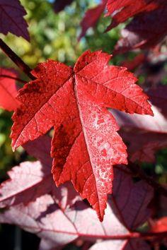 **Maple leaf