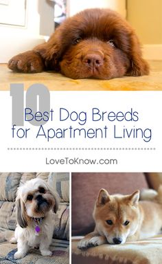 Time to puppy-proof your apartment! Here are our recommendations for the 10 best dog breeds for apartment living. | 10 Best Dog Breeds for Apartment Living from #LoveToKnow