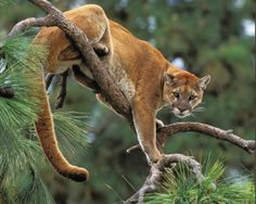 Puma in a tree Animals Are Beautiful People, Beautiful Cats, Beautiful Creatures, Scary Animals, Animals And Pets, Cute Animals, Big Cats, Cats And Kittens, Cute Cats