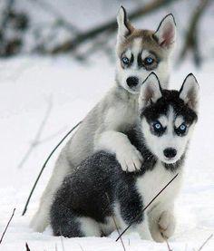 Husky Siblings.