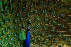India's national bird - Peacock