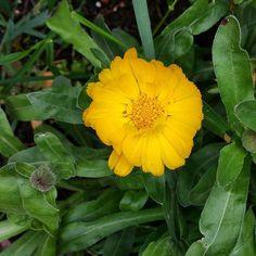 Sole a terra.  #instanature #instaflower #flowerstagram #primomaggio