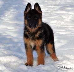 10 Week old German Shepherd puppy Tigre vom Grunwald Haus #GermanShepherd