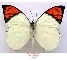 Hebomoia glaucippe aturia (Thailand)