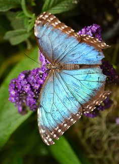 "Blue Morpho Butterfly -   ""What the ♥ has once known it shall never forget."" ((for the love of Ashley))"