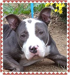 Act quickly to adopt BINDI - Volunteer favorite. Pets at this Shelter may be held for only a short time.Marietta, GA - Pit Bull Terrier Mix. Meet BINDI - Volunteer favorite a Dog for Adoption.