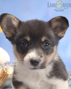 #WelshCorgi #Pembroke #Charming #PinterestPuppies #PuppiesOfPinterest #Puppy #Puppies #Pups #Pup #Funloving #Sweet #PuppyLove #Cute #Cuddly #Adorable #ForTheLoveOfADog #MansBestFriend #Animals #Dog #Pet #Pets #ChildrenFriendly #PuppyandChildren #ChildandPuppy #LancasterPuppies www.LancasterPuppies.com New Puppy, Puppy Love, Pembroke Welsh Corgi Puppies, Lancaster Puppies, Animals Dog, Fun Loving, Puppies For Sale, Mans Best Friend, Pets