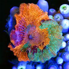 "Super Schroom"" Mushroom Coral from Sexy Corals   AquaNerd"