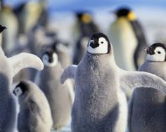 Raise Your Voice & Ask World Leaders to Protect Penguins~ This October, two dozen countries & the European Union will decide the fate of some of the most important penguin habitat on Earth. The Commission for the Conservation of Antarctic Marine Living Resources, or CCAMLR, could create the world's largest marine reserves in the Ross Sea and the waters off East Antarctica. These large-scale protections would preserve penguin foraging & breeding grounds
