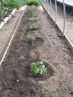 Growing Tomatoes, Growing Vegetables, Growing Plants, Organic Gardening, Gardening Tips, Vegetable Gardening, Veggie Gardens, Kitchen Gardening, Gardening Magazines