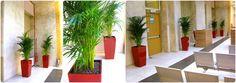 """ARREDO VERDE PER AZIENDE - piante da interno specie """"Areca"""" in coltura idroponica."""