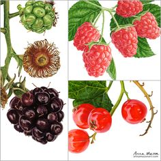Have you had any good picking sessions this season? The blackberries here have been hammered by the rain a bit but Ben's still managing to eat a handful or two on our morning walk #stickyfingers Watercolor Fruit, Watercolor Paintings, Anna Mason, Sticky Fingers, Botanical Flowers, Blackberries, Botanical Illustration, Rain, Clip Art
