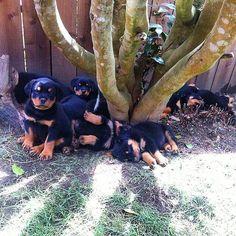 Rottweiler World @therottweilerworld Instagram photos | Websta Rottweilers, Pitbulls, Rottweiler Love, Cane Corso, Paw Prints, Teddy Bears, Animal Kingdom, Best Dogs, Doggies