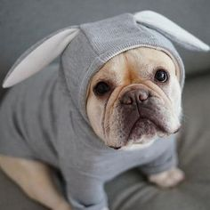 The major breeds of bulldogs are English bulldog, American bulldog, and French bulldog. The bulldog has a broad shoulder which matches with the head. Puppy Obedience Training, Basic Dog Training, Dog Training Videos, Pitbulls, Beagles, Positive Dog Training, Circulation Sanguine, Easiest Dogs To Train, Bullen