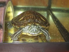 Lucky Tried to Kill Me. Salmonella loves turtles, but it doesn't love you.