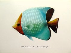 Vintage fish lithograph print, 1975 antique hooded butterflyfish color engraving, sea life color engraving, fishes marine animal plate.  This original old vintage engraving from a 1975 was extracted of a laboratoty folder from Spain and shows a collection of fishes.  SUBJECT: FISHES - Chaetodon larvatus. PAPER SIZE : Appprox Inches 9.1 x 6.5 ( 23 x 16.5 cm). AGE: 41 years. CONDITION: Good condition.  Text on the reverse.Text in Spanish. For more antique FISH prints, please click on…