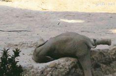 Estos elefantes fueron a rescatar corriendo al BEBE que se cayó.