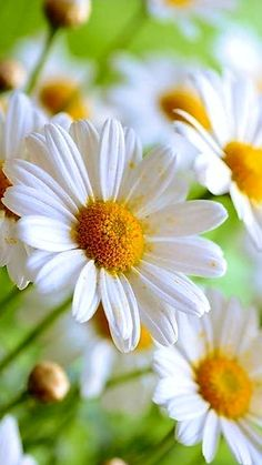 Butterfly Flowers, Flowers Nature, Beautiful Flowers, Daisy Love, Natural Background, Nature View, Nature Wallpaper, Flower Photos, Flower Power