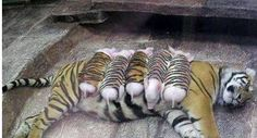 Five Baby Piglets Was Used To Pretends a Tiger Cubs |Oh My Facts