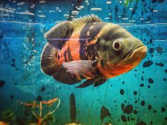 Tropical Freshwater Fish, Tropical Fish Aquarium, Freshwater Aquarium, Cichlid Aquarium, Cichlid Fish, Tiger Oscar Fish, Fish Tales, Water Animals, Underwater Creatures