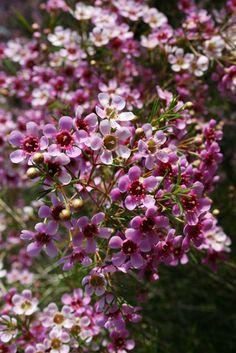 37 best filler flowers images on pinterest cut flowers wedding pink wax flower mightylinksfo