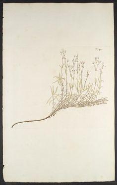 Florae Austriacae, sive, Plantarum selectarum in Austriae archiducatu. Viennæ Austriæ :Leopoldi Joannis Kaliwoda,1773-78.. biodiversitylibrary.org/page/278702