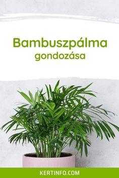 Bambuszpálma gondozása, szaporítása, betegségei, igényei, virágzása, kártevői, ültetése, locsolása, tápoldatozása. Plants, Plant, Planets