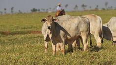 Trabalho feito no Cerrado brasileiro e publicado na Escócia sugere que controle ambiental tem que ser constante para compensar efeitos da criação de gado