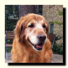 This is Jack - 5 yrs. He was found wandering. He is neutered, current on vaccinations, potty & crate trained, walks well on leash & has good house manners. he gets along with calm dogs & older kids. He is a bit overweight. Jack is a gentle boy looking for a forever home & is at  Dallas Fort Worth Metro Golden Retriever Rescue, TX. http://ww2.rescuegoldens.org/index.php?option=com_wrapper&view=wrapper&Itemid=15