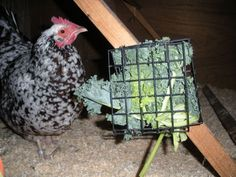 I've been feeding extra greens to the chickens using a small wild bird suet feeder cage (like this good blogger).  They love it, esp. when there's snow on the ground and no grass to be found.
