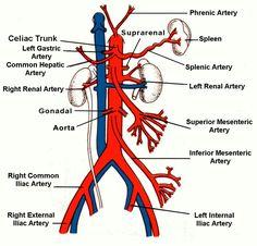 The 63 best Arteries & Veins images on Pinterest | Anatomy, Anatomy ...