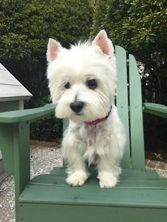 Meet BLOSSOM, an adoptable West Highland White Terrier Westie looking for a forever home. If you're looking for a new pet to adopt or want information on how to get involved with adoptable pets, Petfinder.com is a great resource.