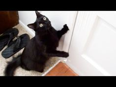 This Cat Insistently Demands To Go On A Walk, So His Owner Has No Other Choice… WATCH! | The Meow Post fb-2